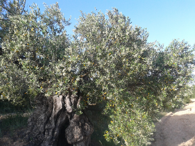 almost ancient olive tree 2015