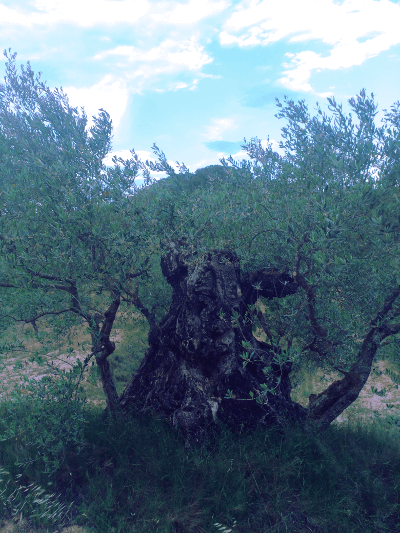 almost ancient olive tree 2016